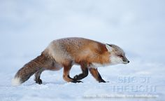 Red fox heading into wind by Charles Glatzer on 500px