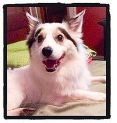 Hainesville, IL - Border Collie/Sheltie, Shetland Sheepdog Mix. Meet Porter, a dog for adoption. http://www.adoptapet.com/pet/11527527-hainesville-illinois-border-collie-mix