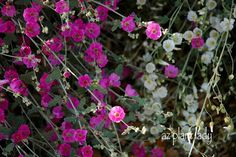 Globe Mallow - perennial low-maintenance, No fertilizer or amendments required, Prune once a year to 6 inches to 1 ft. after blooming in late spring/early summer. When pruning, wear gloves and long sleeves since the tiny hairs on the leaves can be irritating to some as well as an eye irritant.