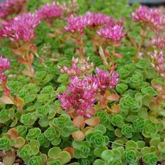 """Sedum spurium, commonly called Caucasian stonecrop or two row stonecrop, is a low-growing, sprawling, mat-forming sedum or stonecrop that is commonly grown as a ground cover. 'John Creech' is a small spreading stonecrop that typically grows to only 2"""" tall but can quickly form a dense mat of foliage by creeping stems that root at the nodes as they spread along the ground. Small, scalloped green leaves. Pink flowers appear above the foliage in fall. Zones 3-8 Grown in 4 inch pots Many…"""