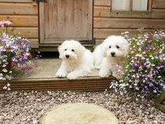 Bichons relaxing in garden - Poppy and Daisy