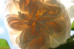 Back lit rose