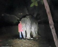Domesticated elephants in Thailand are believed to outnumber those in the wild by almost two to one - despite the capturing of wild elephants for entertainment purposes being banned  Read more: http://www.dailymail.co.uk/news/article-3127751/Begging-elephant-Thailand-kills-diner-goring-chest-tusk-spooked-loud-music-car-lights.html#ixzz4RsmCxly9  Follow us: @MailOnline on Twitter   DailyMail on Facebook