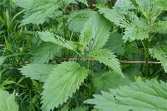 Stinging Nettle! Don't touch with out gloved hands. This is a great steamed vegetable!!! High in many vitamins..very cleansing. Also a great tea for women.
