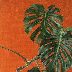 Split Leaf Philodendron - such an elegant retro plant Cheese Plant, Good Old Times, Monstera Deliciosa, Green And Orange, Yellow, Botany, Plant Leaves, Images, Bloom
