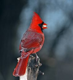 everytime i see that rare red cardinal i think of my husband and son. Pretty Birds, Love Birds, Beautiful Birds, Cardinal Pictures, State Birds, Cardinal Birds, Backyard Birds, Mundo Animal, Colorful Birds