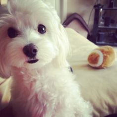 Maltese, this is what my favorite dog looks like. I love my lambeau Teacup Puppies, Cute Puppies, Dogs And Puppies, Teacup Maltese, Beautiful Dogs, Animals Beautiful, Pet Dogs, Dog Cat, Doggies