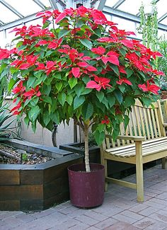 Poinsettia Tree Still Growing Poinsettia Tree, Beautiful Flowers Pictures, Pink Trees, Flowering Trees, Cool Plants, Plant Decor, Trees To Plant, Container Gardening, Indoor Plants