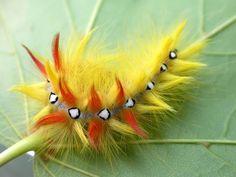 Sycamore Moth (Acronicta aceris) caterpillar