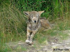 Old Coyote