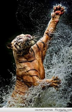 Benggala Tiger - Such beauty & power! by Yudi Lim. Nature Animals, Animals And Pets, Cute Animals, Wild Animals, Baby Animals, Funny Animals, Nature 3d, Animals Planet, Wildlife Nature