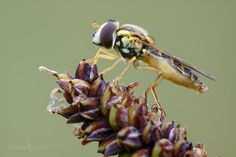 Hoverfly - Sphaerophoria sp. by Mendipman on DeviantArt