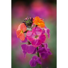 Erysimum 'Winter Orchid' is my new favourite plant, which I now have in pots outside my back door. It flowers almost all year - honestly - and unlike traditional perennial wallflowers, its flowers are scented like the biennial forms.