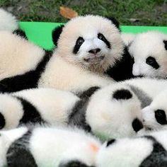 panda panda pandaaaa cubs ;-)))))))) 💙💖💛💙💖💛
