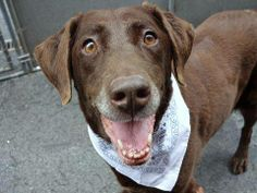 SUPER URGENT 5/1/14  Manhattan Center    LIANNIE - A0998312   FEMALE, BROWN / BLACK, LABRADOR RETR MIX, 9 yrs  STRAY - EVALUATE, NO HOLD  Reason STRAY   Intake condition NONE Intake Date 05/01/2014, From NY 11355, DueOut Date 05/04/2014 Original thread: https://www.facebook.com/photo.php?fbid=795852640427617&set=a.617942388218644.1073741870.152876678058553&type=3&permPage=1