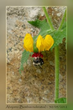 Chilean bumblebee