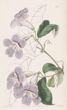 Lavender Trumpet Vine a.k.a. Argentine Trumpet Vine - Bignonia callistegioides - circa 1842