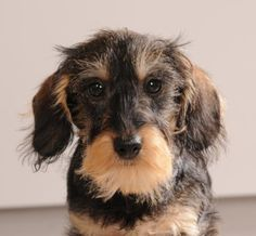 daushound dackle | Teckel-Dackel-Dachshund
