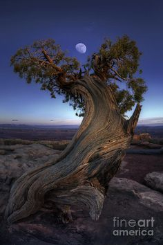 Best collection of most beautiful tree images free HD. Real and most beautiful tree pictures from around the world. Beautiful Moon, Beautiful World, Bristlecone Pine, Twisted Tree, Image Nature, Unique Trees, Old Trees, Nature Tree, Flowers Nature