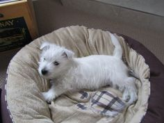 The temperament of the West Highland White Terrier can differ tremendously, with some being friendly towards children while other folks prefer solitude.