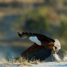 Chobe | Botswana | Fish eagle Birds Of Prey, Bald Eagle, Wildlife, Fish, Spaces, Animals, Animales, Animaux, Animal