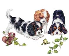 1000 Images About Sweet Cavaliers