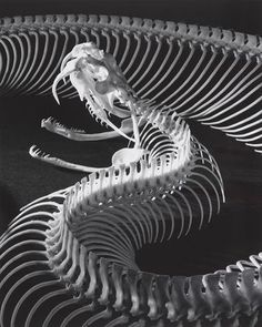 The Skeleton of a Gaboon Viper, Photo by Andreas Feininger, 1952 Skeleton Anatomy, Skeleton Bones, Skull And Bones, Animal Skeletons, Animal Skulls, Gaboon Viper, Photographie Street Art, Animal Bones, Reptiles And Amphibians