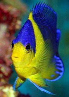 Underwater Animals, Underwater Creatures, Underwater Life, Ocean Creatures, Pretty Fish, Beautiful Fish, Beautiful Sea Creatures, Animals Beautiful, Colorful Fish