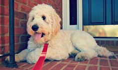 #goldendoodle CANNOT wait to have my own! Thinking of the perf name as I pin. Lol.