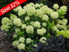 "Little Lime Hydrangea grows only 3' tall and wide with giant green flowers.DWARF Hydrangea only 3' tall & wide! Giant 8"" lime-green flowers Green blooms turn pink & last over 16 weeks Great cut flowers that last for over 21 days ZONE:4,5,6,7,8 SUN EXPOSURE: Sun, Part Shade, Shade DELIVERY: See Schedule SHIP FORM: 2 Quart SOIL TYPE: Normal SOIL MOISTURE: Average HEIGHT X WIDTH: 3-4' x 3-4'"
