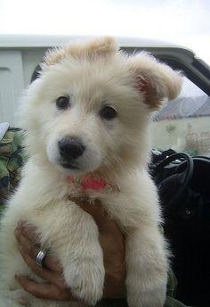 a white german shepherd. Dream puppy!