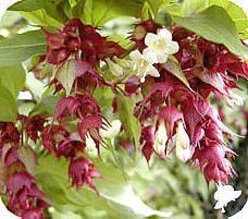 Leycesteria of fazantenbes: een mooie bessendragende sierheester Leycesteria, fazantenbes, soorten, grootmoeders oorbel, caramelbes, kopen