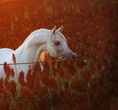 ZT SHAKFANTASY (EL SHAKLAN x RH LIGHT FANTASY)1995 Stallion