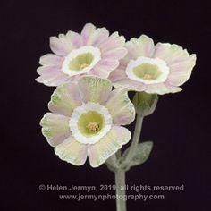 Primula Auricula, Bulb Flowers, Theatres, Collage Art, Bulbs, Garden Ideas, Miniatures, Pretty, Plants