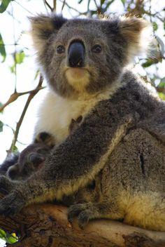 Koala with baby - Australia