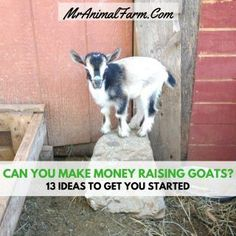 """People will sometimes ask, """"Can you make money raising goats? You definitely can! In fact here are 13 ways you can make money raising goats. Raising Farm Animals, Raising Goats, Breeding Goats, Small Goat, Small Farm, Mini Goats, Goat Care, Boer Goats, Mini Farm"""