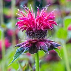 Bee balm (Monarda) has square stems, aromatic foliage, and bright colors that are attractive to pollinators. 'Colrain Red' has mint-scented foliage and intense red flowers that bloom from summer to early fall. Full sun to dappled shade. Up to 4 feet high, 2 feet wide. Zones 4 to 9. |  Photo: Ernst Kucklich | thisoldhouse