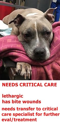 SUPER URGENT Manhattan Center PRINCESS – A0894717 ** NEEDS CRITICAL CARE ** SPAYED FEMALE, TAN / WHITE, PIT BULL MIX, 10 yrs STRAY – EVALUATE, NO HOLD Reason STRAY Intake condition EXAM REQ Intake Date 05/11/2017 http://nycdogs.urgentpodr.org/princess-a0894717/