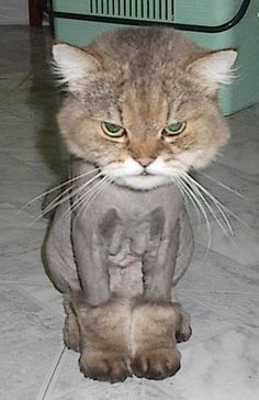 This kitty is not enjoying her new haircut if I'm any judge of facial expression. Just have a look at this puss's booties.
