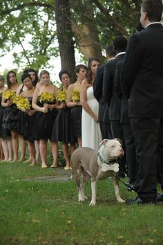 Wedding pit bull