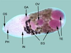 Adult M. yokogawai, are found in the small intestine and measure about 1.5 mm x 0.4 mm.