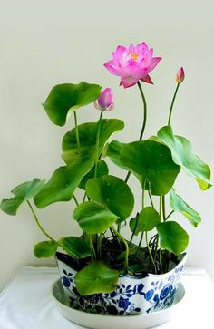 Cheap lotus seeds, Buy Quality bowl lotus seeds directly from China planting flowers Suppliers: 5 pcs/ Bag Perennial Aquatic Plants Flower Bowl lotus Seeds, Original Package Novel Plant Water Flower Indoor Water Garden, Garden Plants, Indoor Plants, Water Gardens, Ikebana, Plantas Indoor, Lotus Plant, Decoration Plante, Flower Bowl