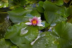 Water lily / credit Chris So