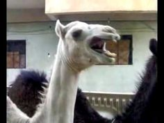 Simply Titled: Camel Laughing ~ SO CUTE! I FREAKING LOVE THIS!!