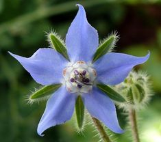 Blue Star Borage Flower Seeds / Officinalis / Annual by YouMakeMeSmileSeeds on Etsy Herbal Remedies For Depression, Flower Garden Plans, Flowers Garden, Herb Seeds, Annual Flowers, Organic Seeds, Companion Planting, Edible Flowers, Medicinal Plants