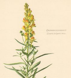 1953 Yellow Toadflax Vintage Lithograph Botanical by Craftissimo