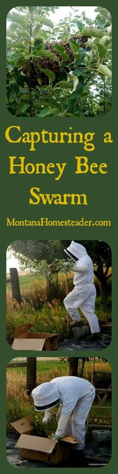 How to capture a honey bee swarm in a tree | Montana Homesteader: