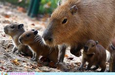 What's cuter than a capybara?  Baby capybaras.  :)