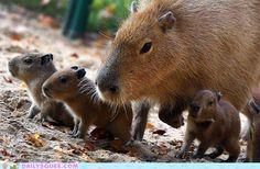 What's cuter than a capybara?  Baby capybaras.  :)