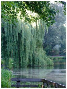 Weeping willow by ~inbalance